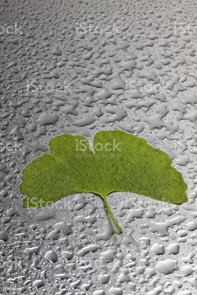 Folha verde Gingo foto de stock royalty-free