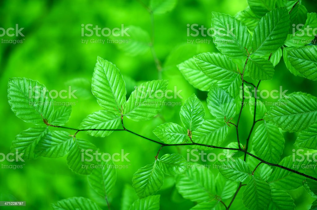 Green glossy beech leaves royalty-free stock photo
