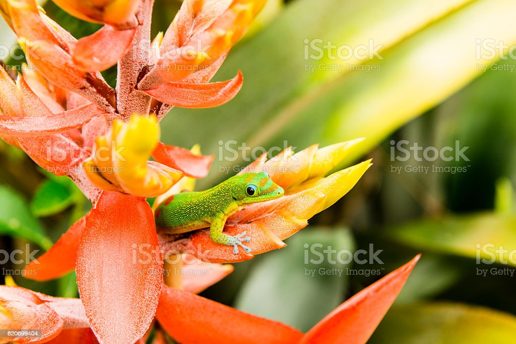Green Gold Dust Day Gecko on Tropical Flower Kona Hawaii stock photo