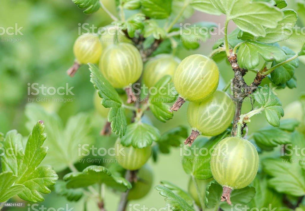 Green gooseberries stock photo