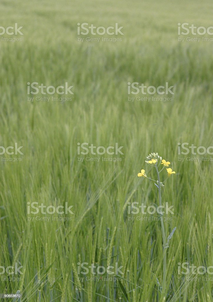 Green grain field with flower royalty-free stock photo