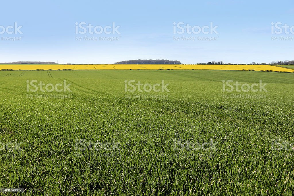 Green grain fields and oilseed rapeseed, yellow flowers in spring stock photo