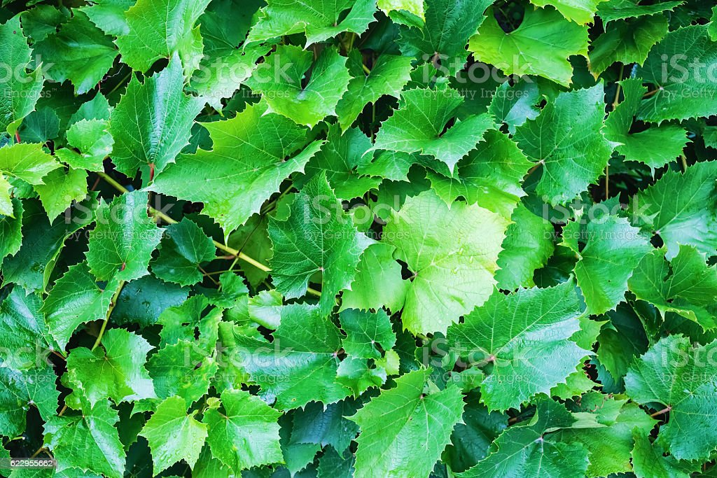 Green grape foliage stock photo