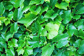 Green grape foliage