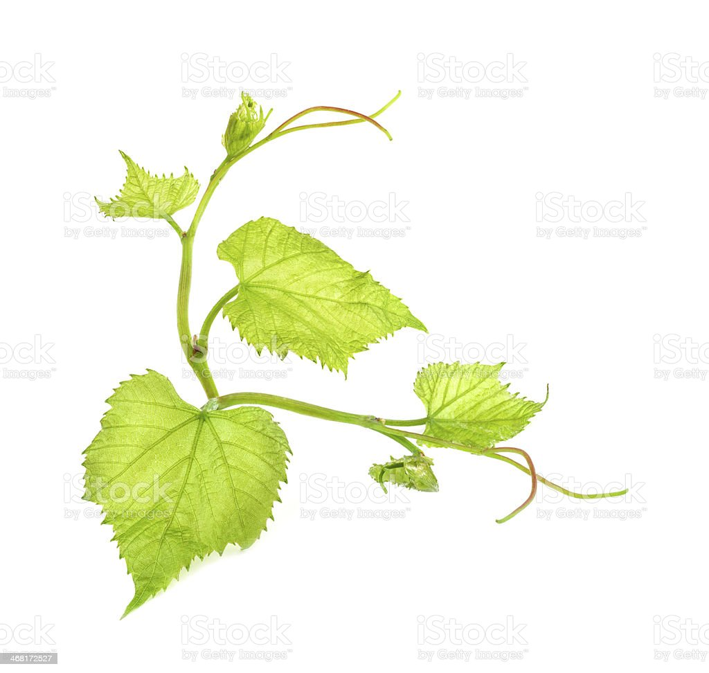 Green Grape Leaf stock photo