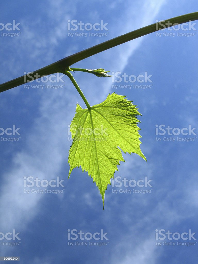Green grape leaf royalty-free stock photo