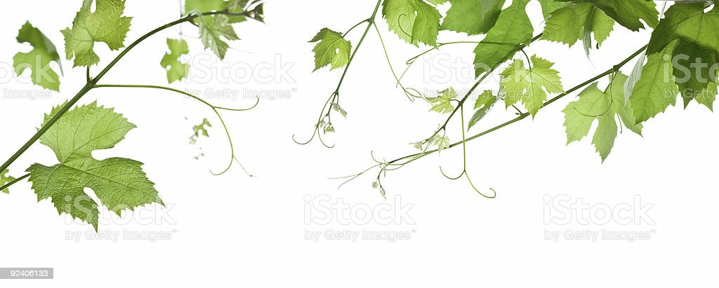 Green grape leaves hanging from branches royalty-free stock photo