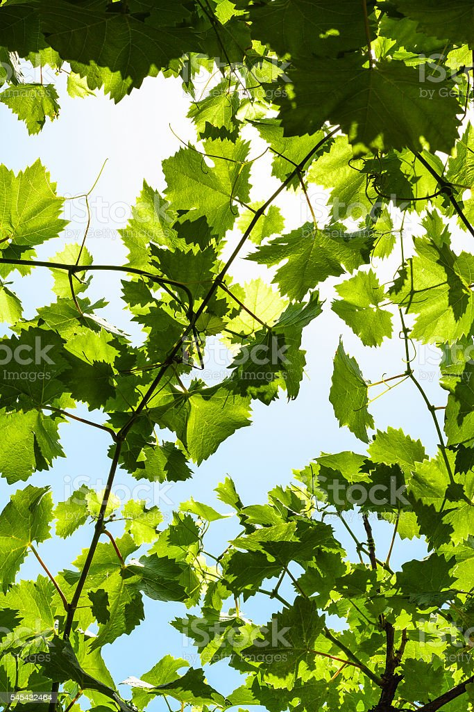 green grape leaves of vineyard and blue sky stock photo