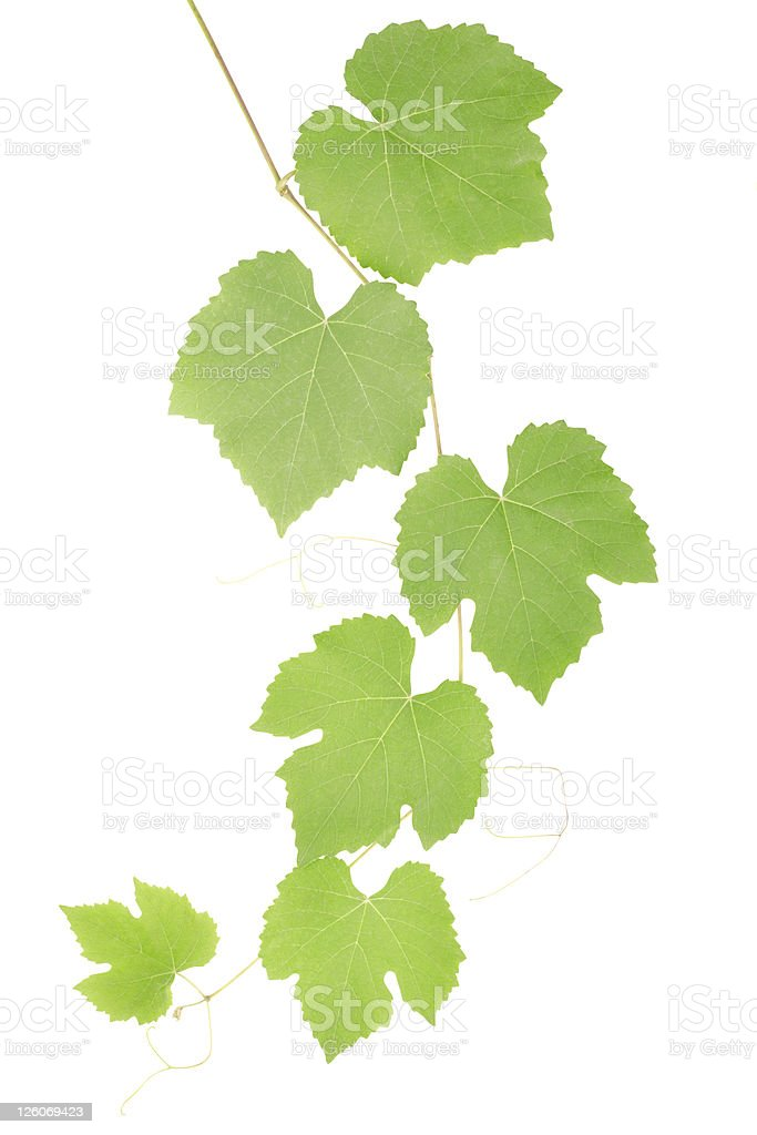 Green grape leaves royalty-free stock photo
