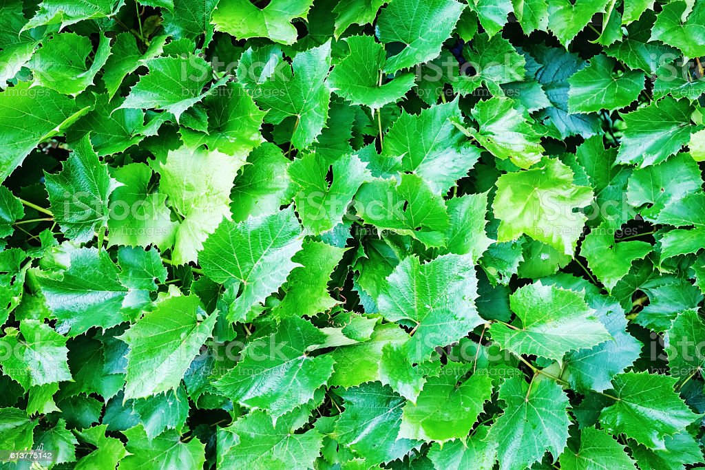 Green grape leaves stock photo