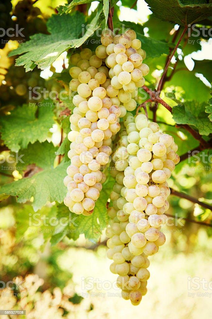 Green grape on vineyard stock photo