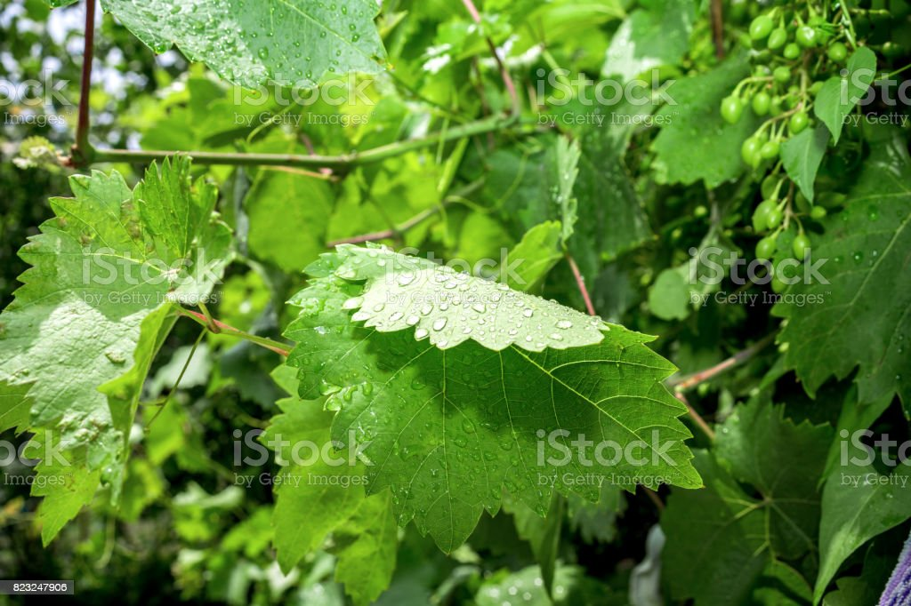 Green grapes and leaves on grape vine frame background stock photo