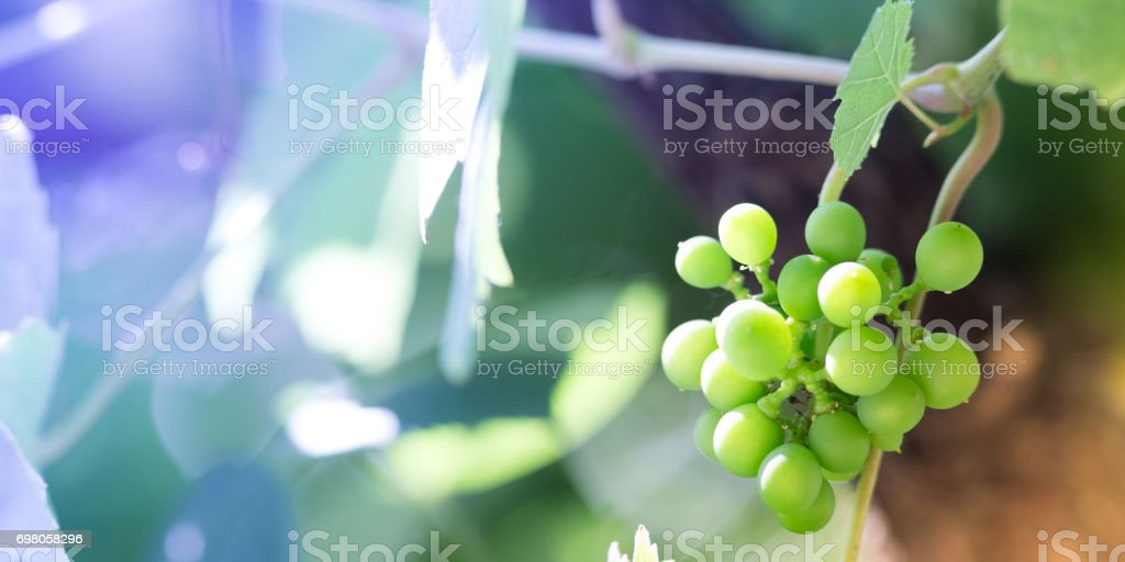 Green grapes background stock photo