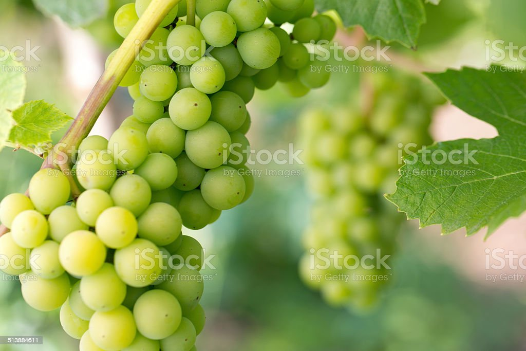 green grapes growing stock photo