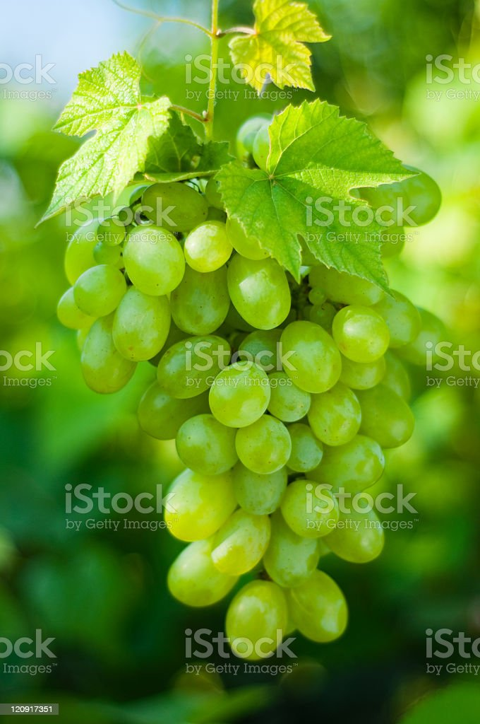 Green grapes hanging from their vine royalty-free stock photo