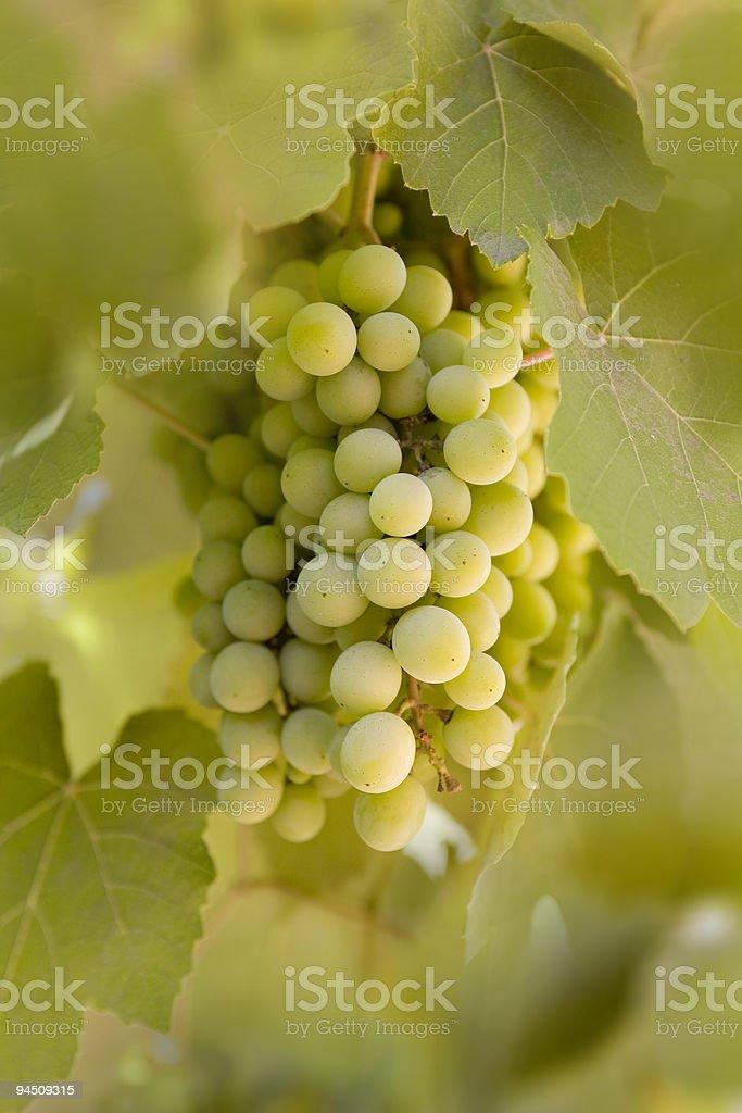 Green grapes in vineyard royalty-free stock photo