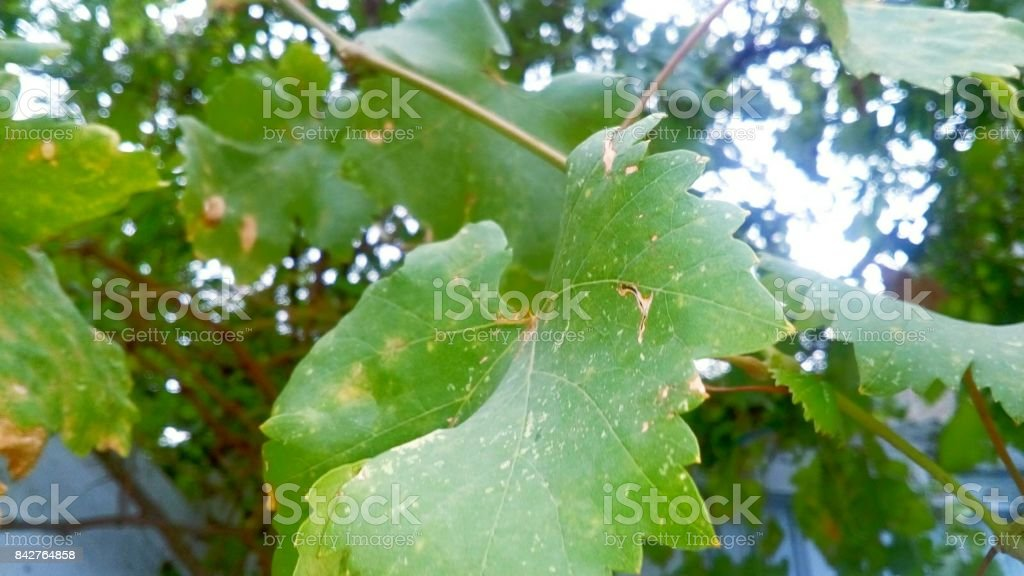 Green Grapes Leaves stock photo