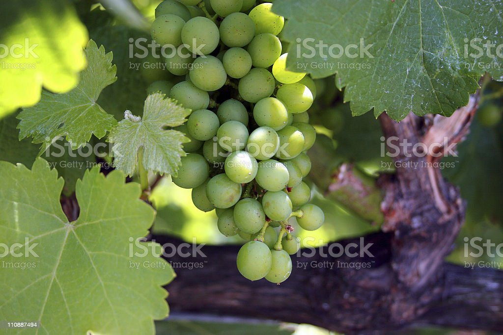 Green Grapes on the Vine royalty-free stock photo