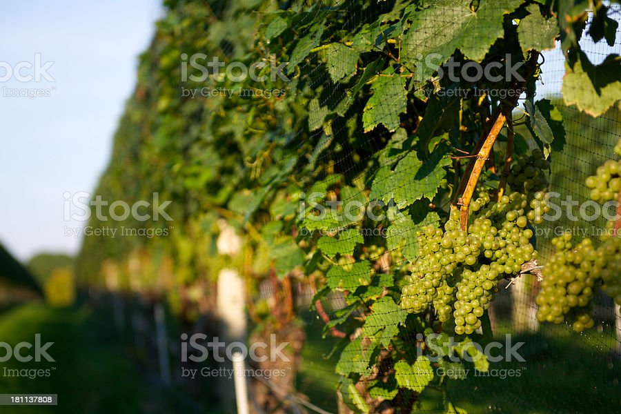 Green Grapes On Vine At Winery stock photo