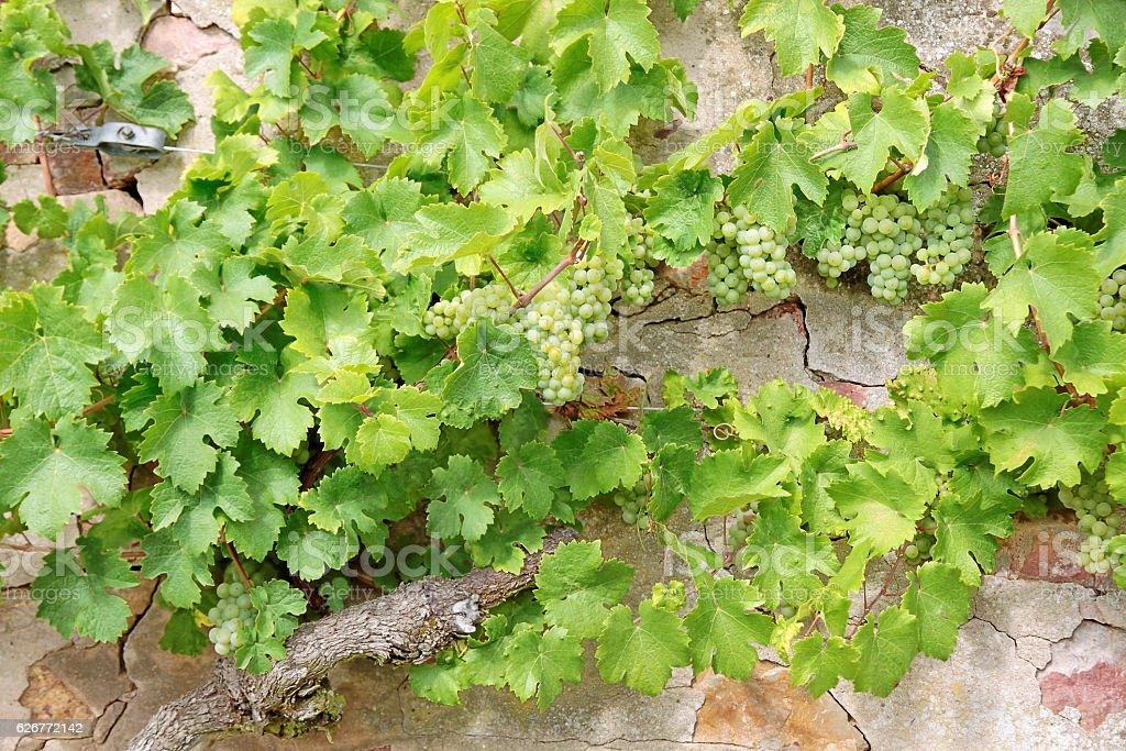 Green grape-vines stock photo