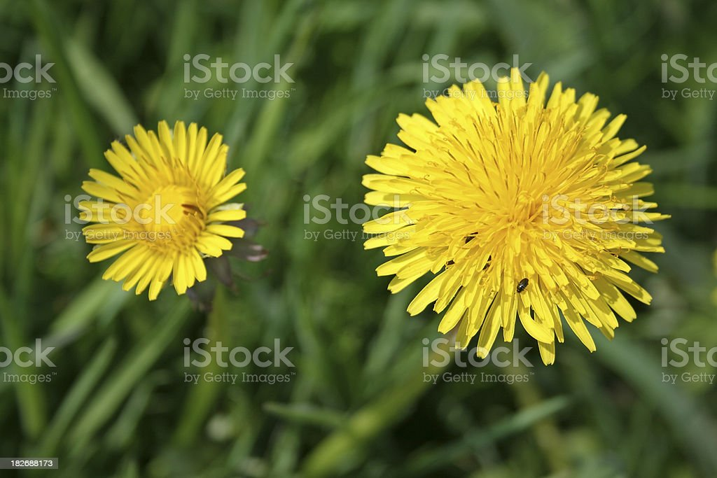 Green Grass and Dandelions stock photo