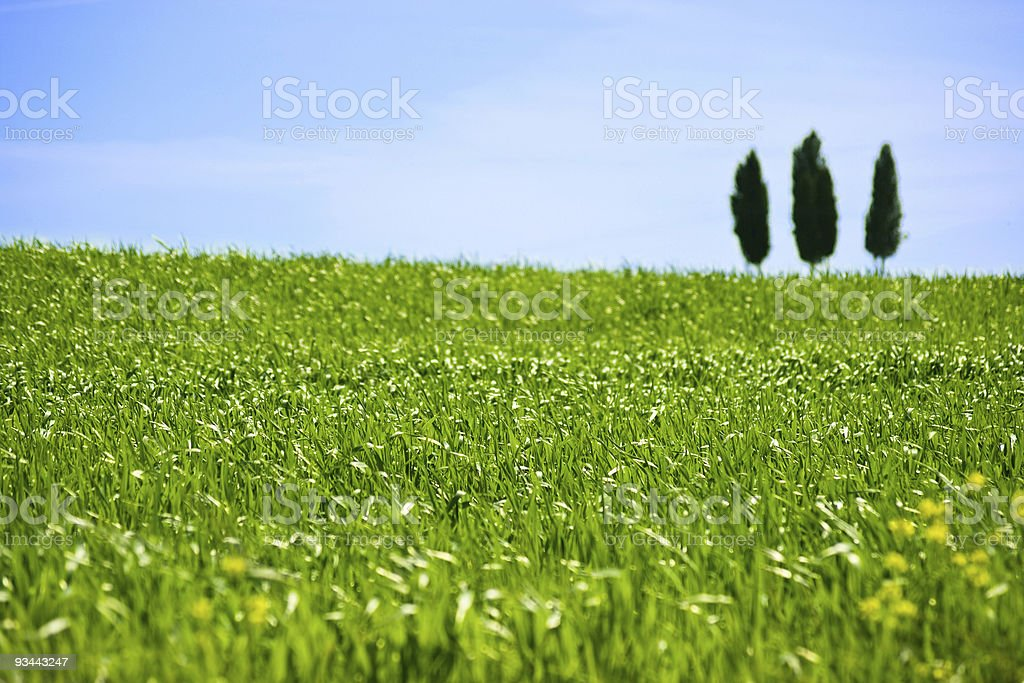 Green grass and three cypresses royalty-free stock photo
