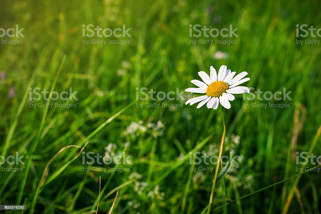 Green grass background and camomiles in nature stock photo