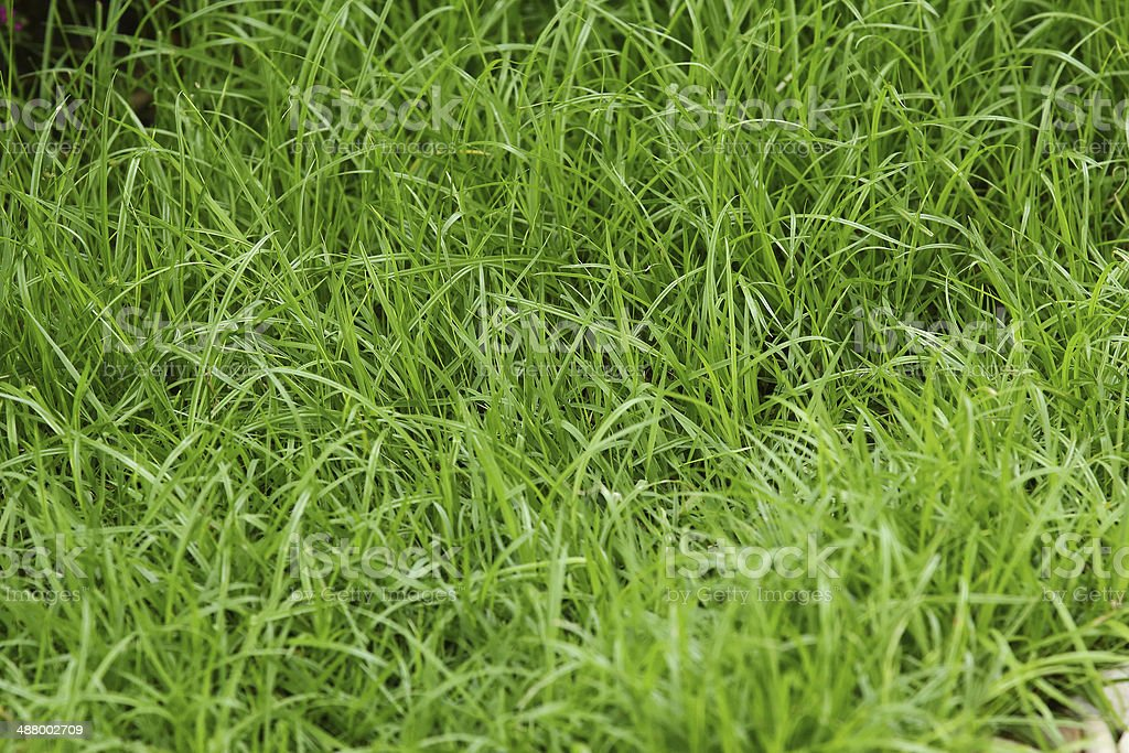 Green grass background royalty-free stock photo