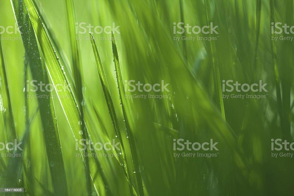 Green Grass Blades stock photo