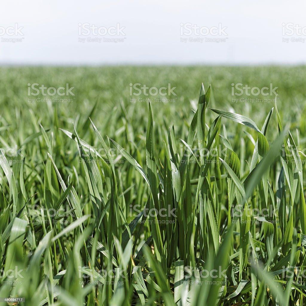 Green grass close up royalty-free stock photo