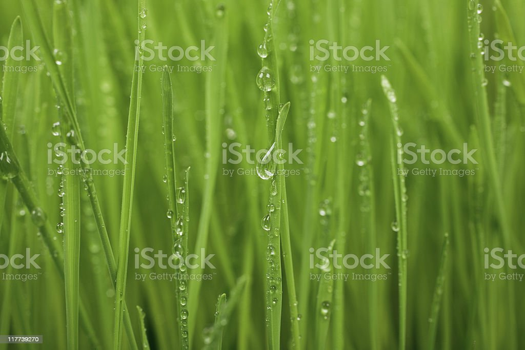 Green Grass Close-Up royalty-free stock photo