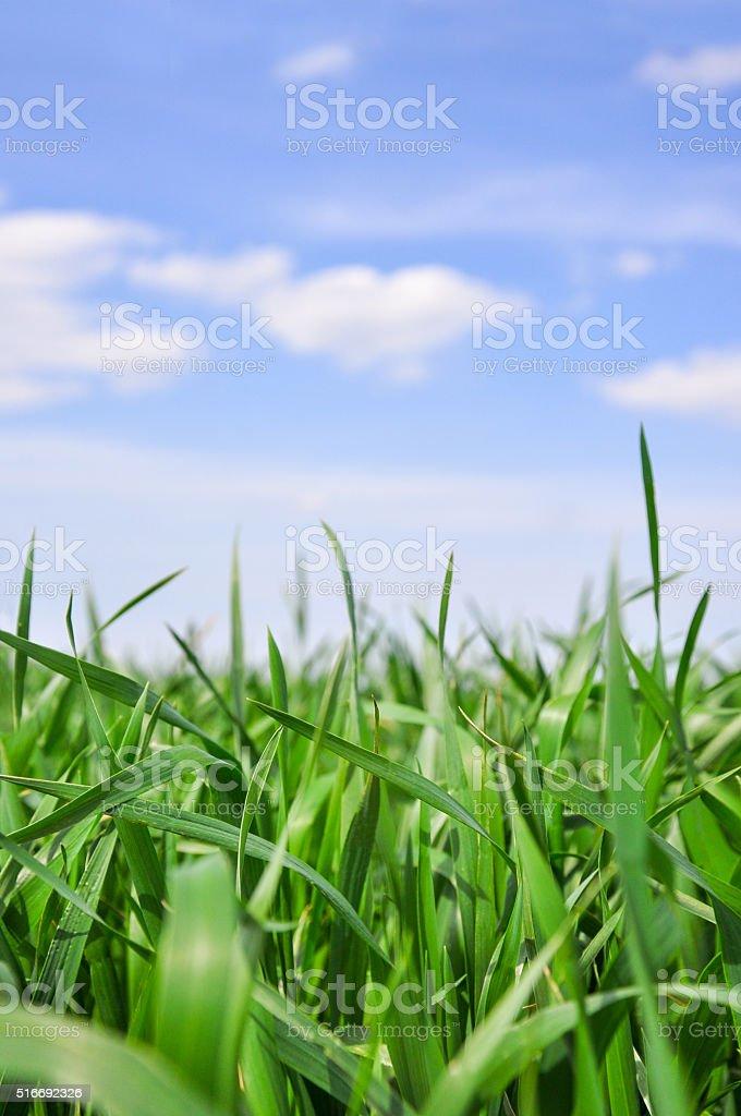 Green grass field and blu sky stock photo