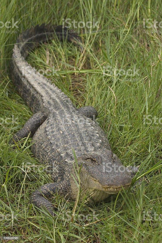 Green grass Gator. stock photo