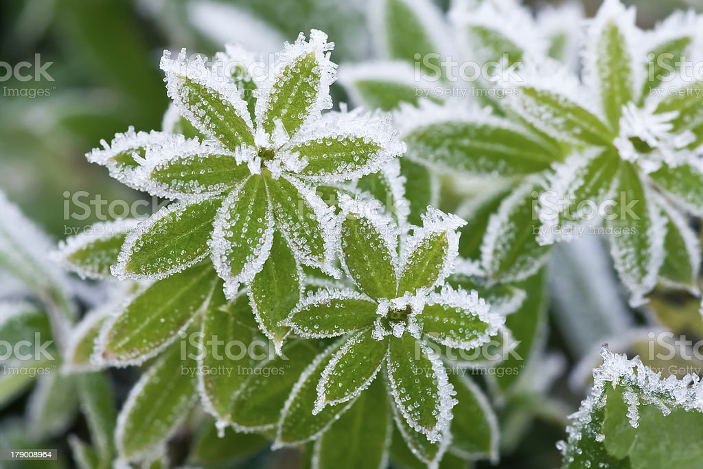 green grass in hoarfrost royalty-free stock photo