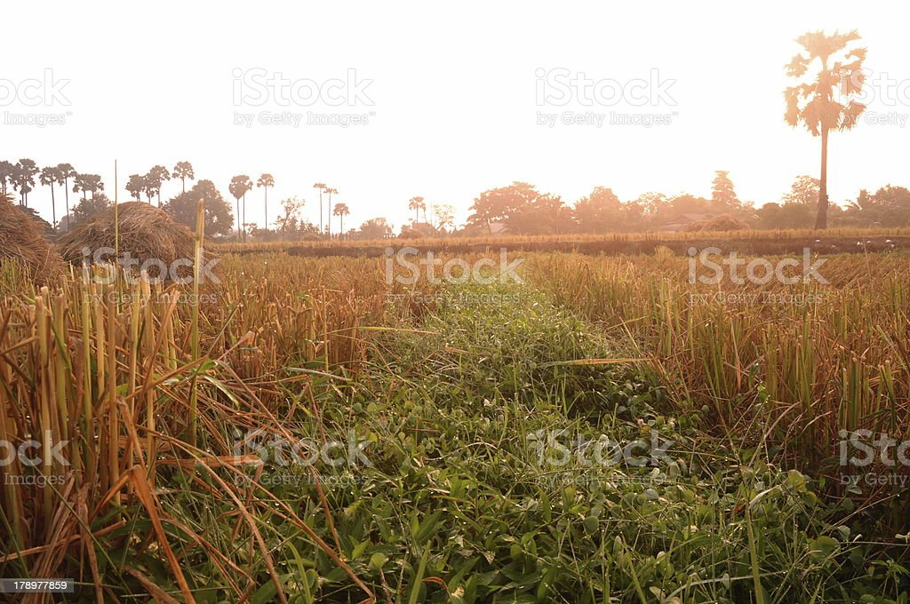 Green grass in the morning royalty-free stock photo