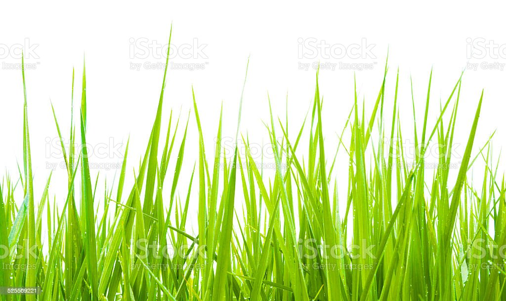 Green grass isolate stock photo