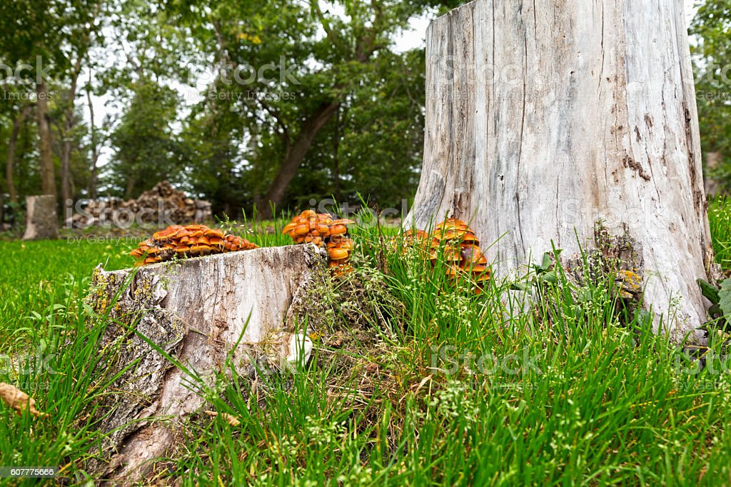 Green Grass, Mushrooms and Tree Stumps stock photo