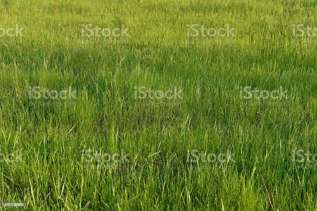 Green grass. natural background texture. fresh spring green grass. stock photo