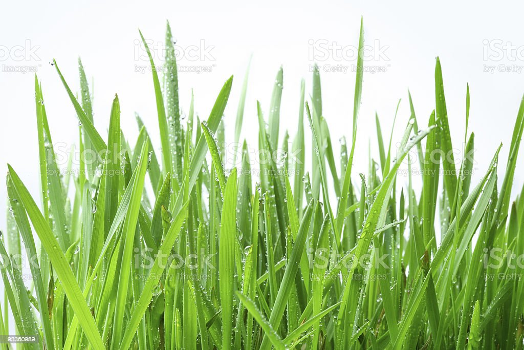 Green grass on a white background royalty-free stock photo