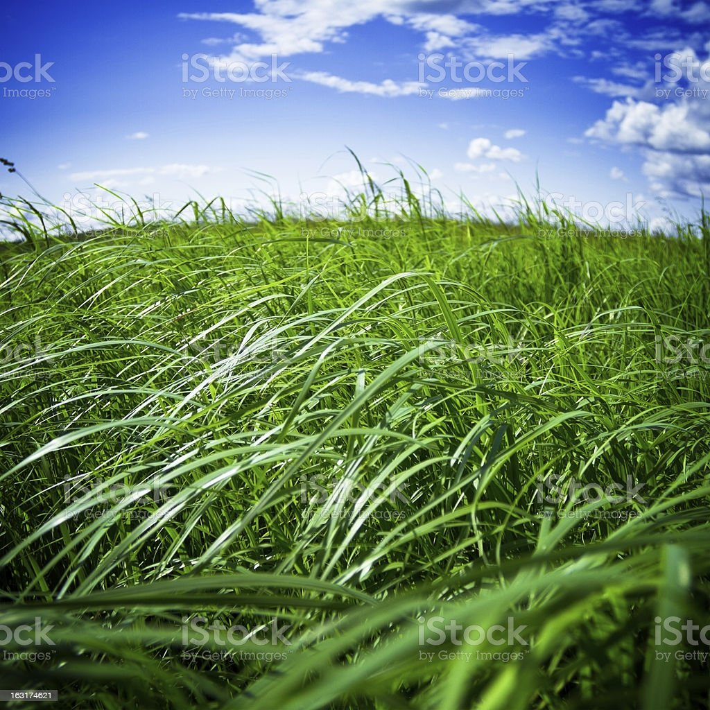 Green grass on a wind royalty-free stock photo