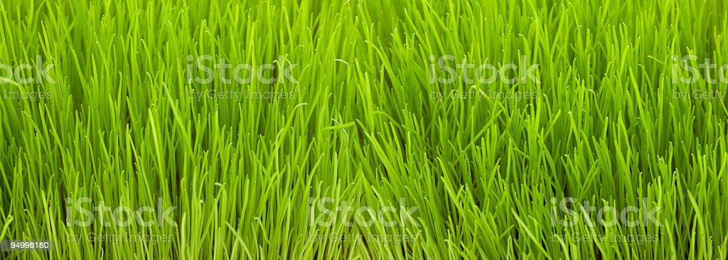 Green grass (XXL) royalty-free stock photo