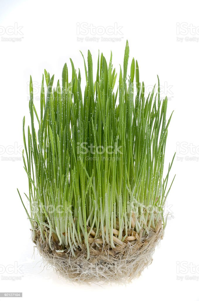 Green grass  sprout of wheat over white background. royalty-free stock photo