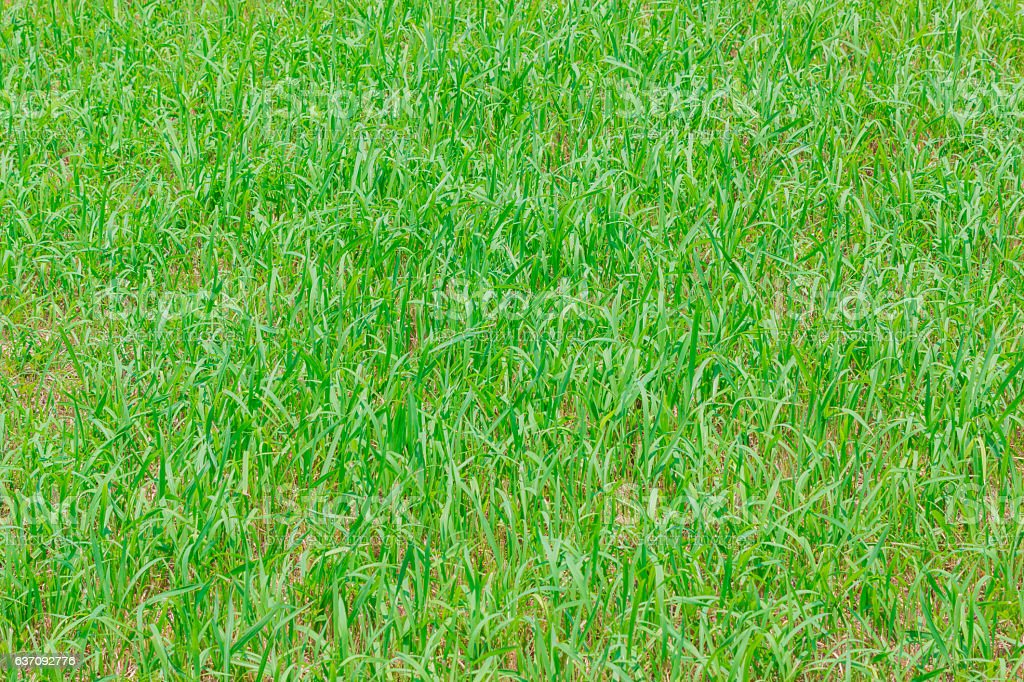 Green grass texture can be use for background. stock photo