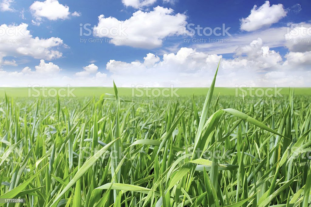 Green grass, the blue sky and white clouds royalty-free stock photo