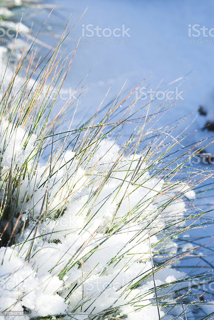 Green grass through the snow stock photo