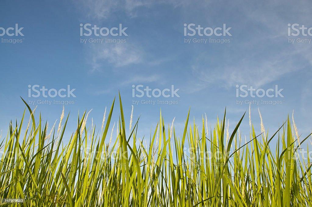 Zielona Trawa pod Błękitne Bezchmurne niebo zbiór zdjęć royalty-free