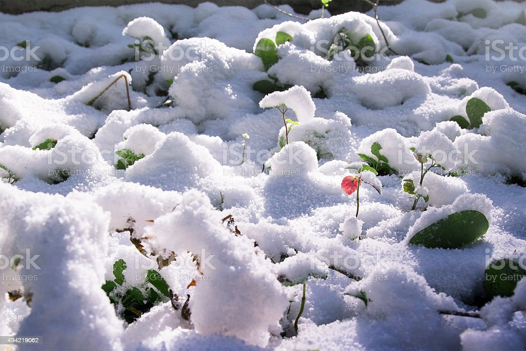 green grass under the snow stock photo