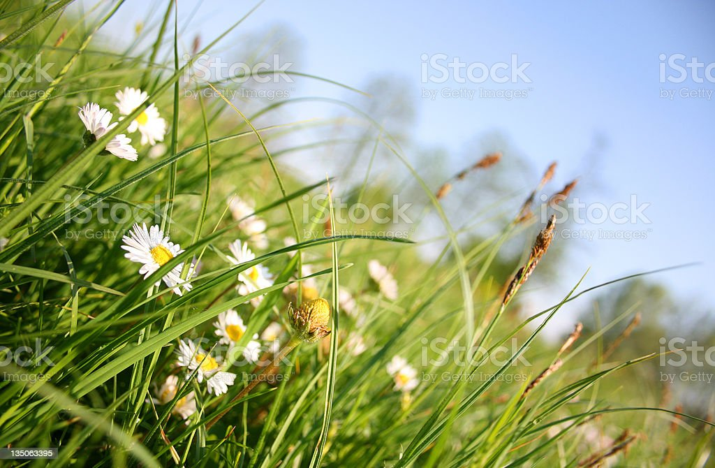 Green Grass Wild Daisy Flowers and Blue Sky Summer Season royalty-free stock photo