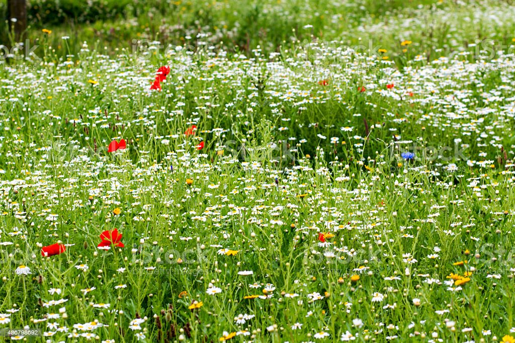 Green grass with daisy flowers and red poppy stock photo
