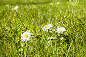 Green grass with daisy flowers at spring.